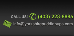 Call Us - (403) 223-8885  E-mail:info@yorkshirepuddinpups.com